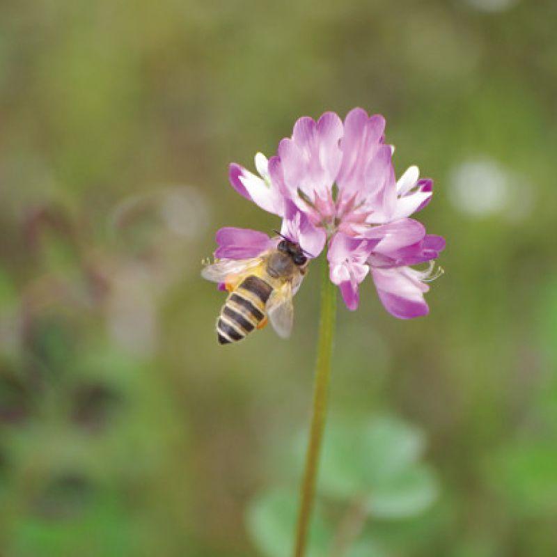 HACHIBEI(はちべい)【ハニーNO.8】満開のレンゲ|国産はちみつ はちべいの蜂蜜 八米